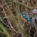 2017 01 16 - Kingfisher by pixiemac