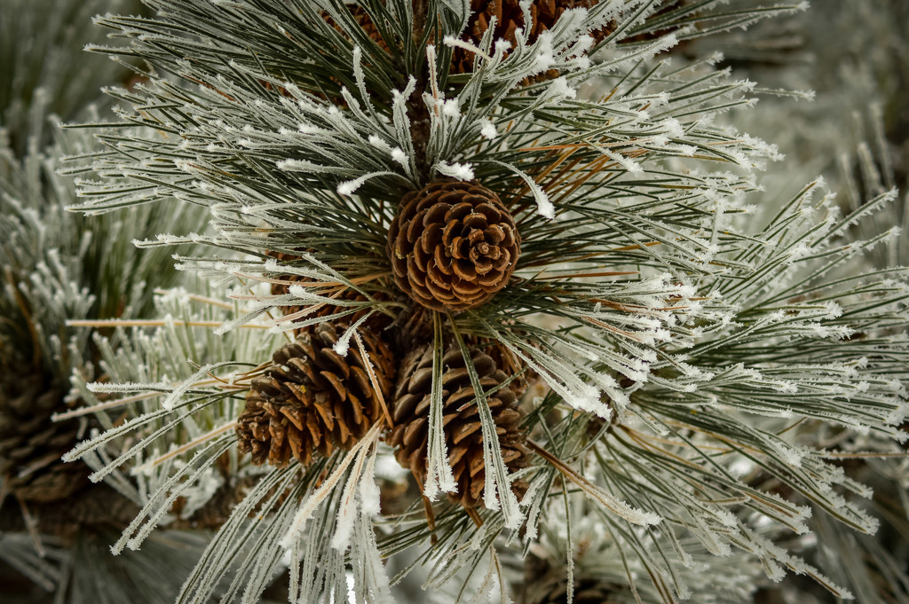 Ponderosa Pine Cones by 365karly1