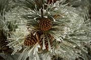 16th Jan 2017 - Ponderosa Pine Cones