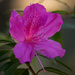 The Azaleas are in Bloom!