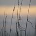Sea Oats at Sunset