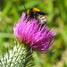 Bumble bee  on thistle flower by dawnee