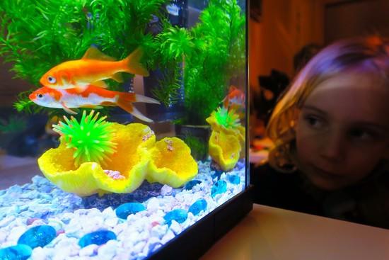 Goldfish  by halkia