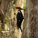 Piliated Woodpecker! by rickster549