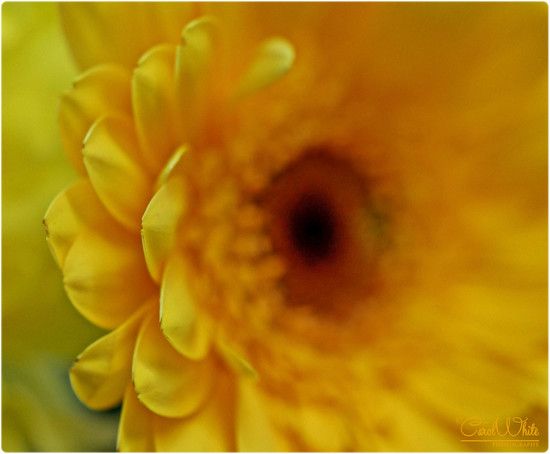 Petals by carolmw