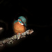 Kingfisher in a spotlight by padlock