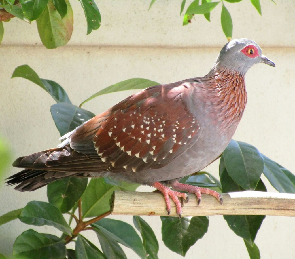 Speckled Pigeon by ludwigsdiana