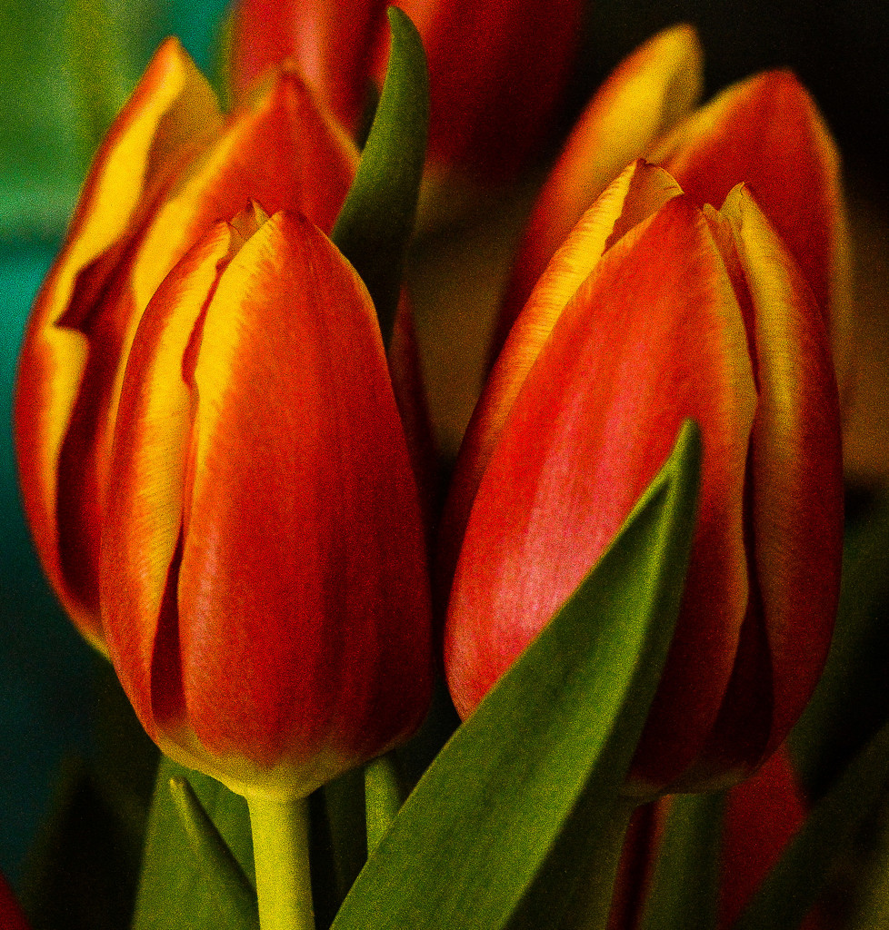 Tulips by 365karly1