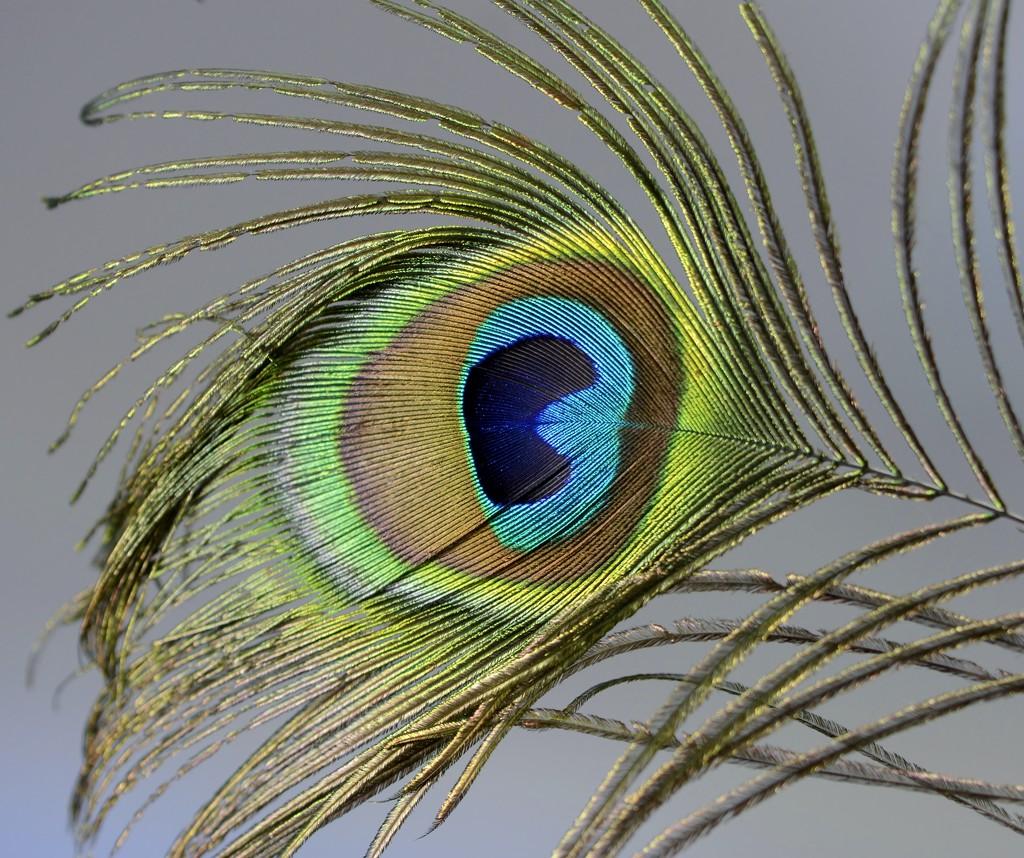 Peacock Feather......._DSC0504 by merrelyn