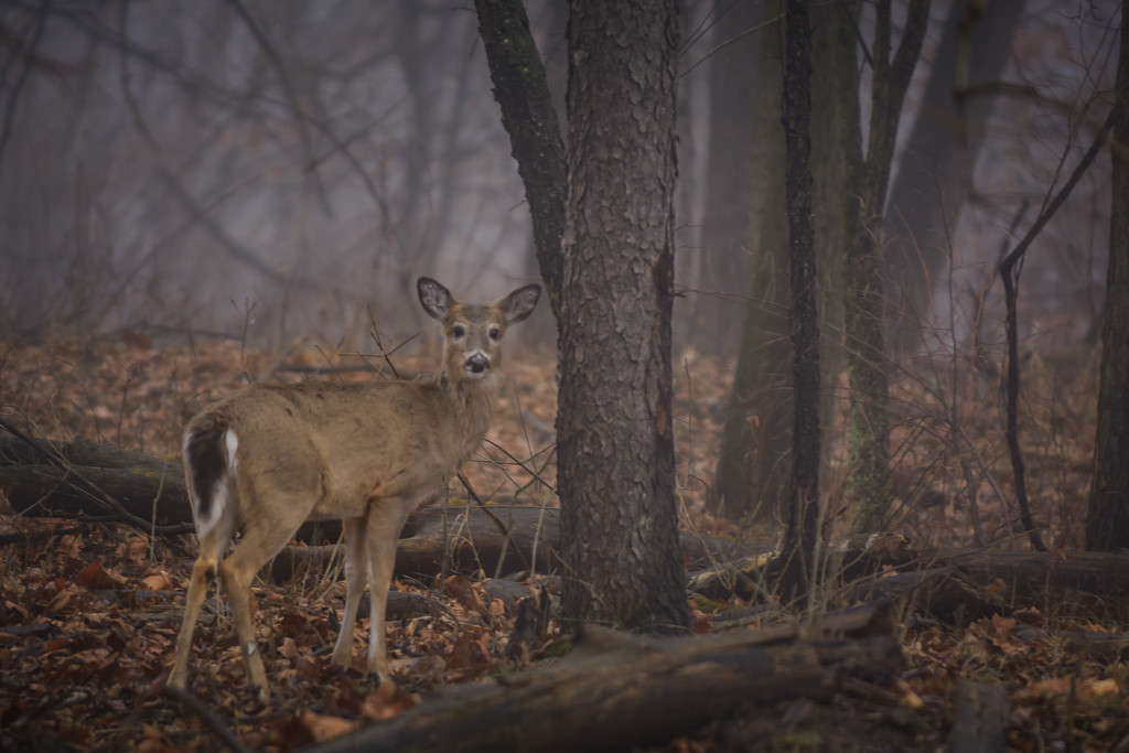 white tail in the fog by jackies365