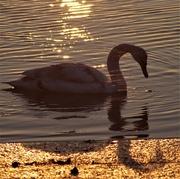 21st Jan 2017 - Swan at Sunrise