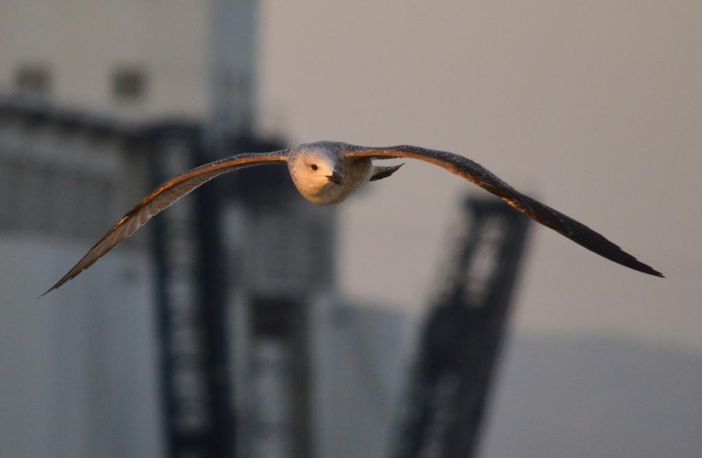 Seagull over Barcelona Harbor by kareenking