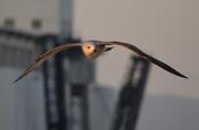6th Jan 2017 - Seagull over Barcelona Harbor