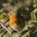 Robin by bizziebeeme