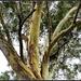 Gum Trees Stripping