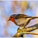 Watchful Robin by carolmw