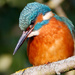 Kingfisher searching for lunch-BOB by padlock