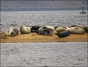 21st Jan 2017 - Seals on the Sandbar at Sandy Hook