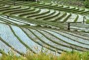 14th Jan 2017 - Rice Terraces, Bali