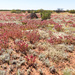 And more wildflowers in the Red Centre
