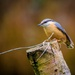 Nuthatch by swillinbillyflynn