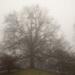 Highland Park Pin Oak by bill_fe