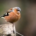 Chaffinch by swillinbillyflynn