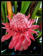 25th Jan 2017 - Magnificent TORCH  Ginger