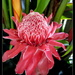 Magnificent TORCH  Ginger by 777margo