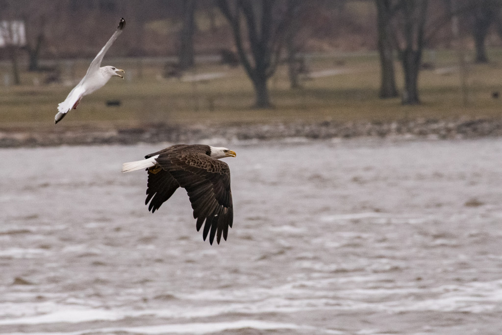 Day 1 Bald Eagle shoot by dridsdale