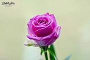 25th Jan 2017 - Pink rose