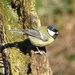 Great Tit in the Sun by susiemc