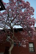 23rd Mar 2016 - Magnolia Tree