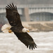 Eagle and dam by dridsdale
