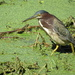 Green Heron in the Duck Weed