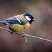 Great tit by swillinbillyflynn