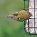 THE GOLDCREST IS BACK by markp
