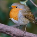 ANOTHER GARDEN ROBIN by markp