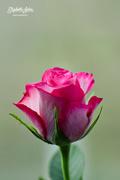 27th Jan 2017 - Pink rose
