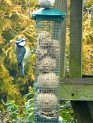 25th Jan 2017 - A Blue Tit at the bird table...