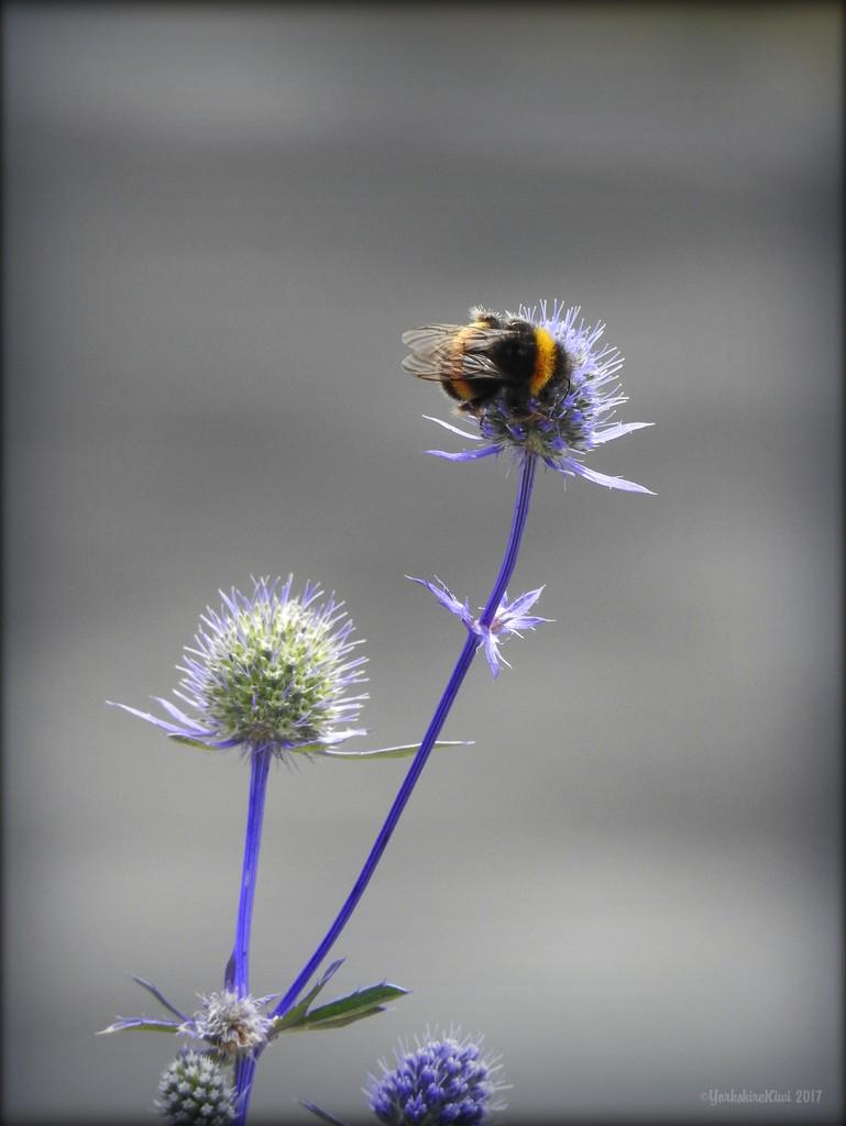 Bumble Bee on Echinops by yorkshirekiwi