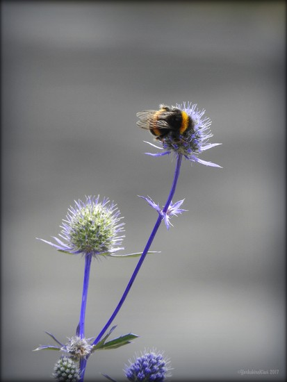 Bumble Bee on Echinops by yorkshirekiwi
