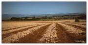 29th Jan 2017 - Onion Fields...