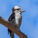 Iconic kookaburra by gosia