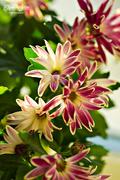 29th Jan 2017 - Chrysanthemum
