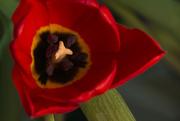 17th Aug 2010 - Tulip