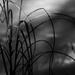 Grasses by tosee