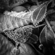 30th Jan 2017 - Frost