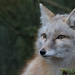 Corsac Fox by leonbuys83