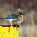 Bluebird and Rust - Take Your Pick by milaniet